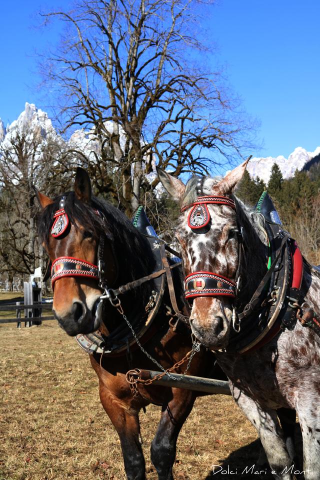 trentino cavalli
